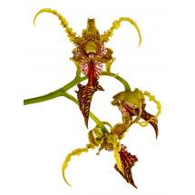 Dendrobium Spectabile
